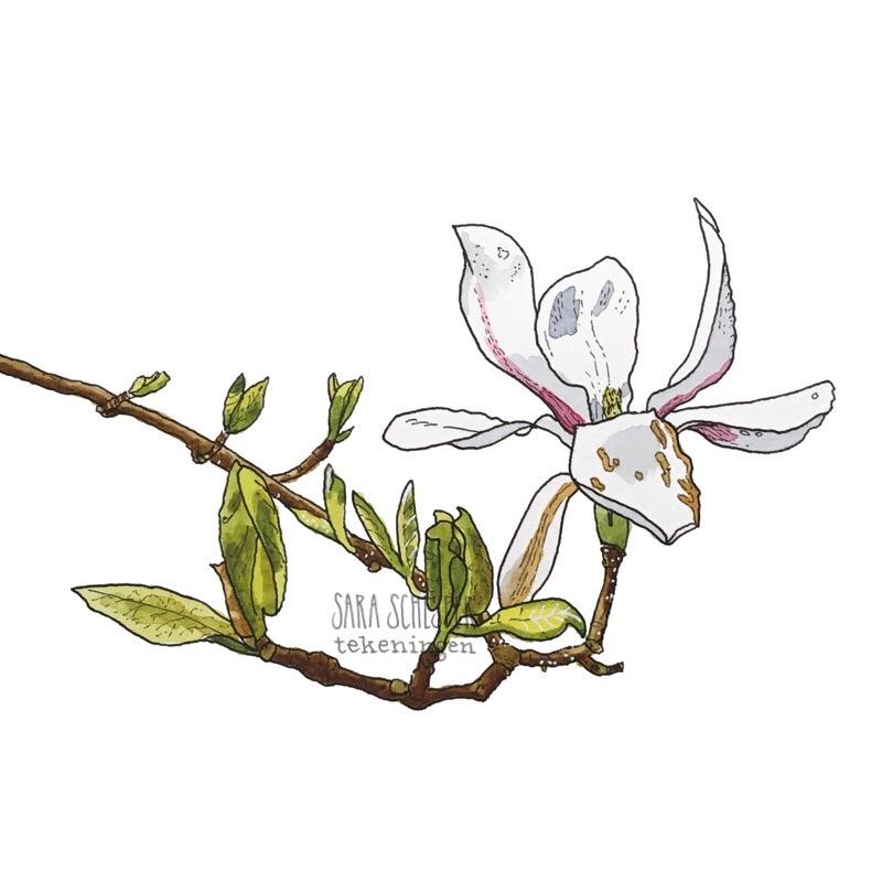 Tekening wit-roze magnolia
