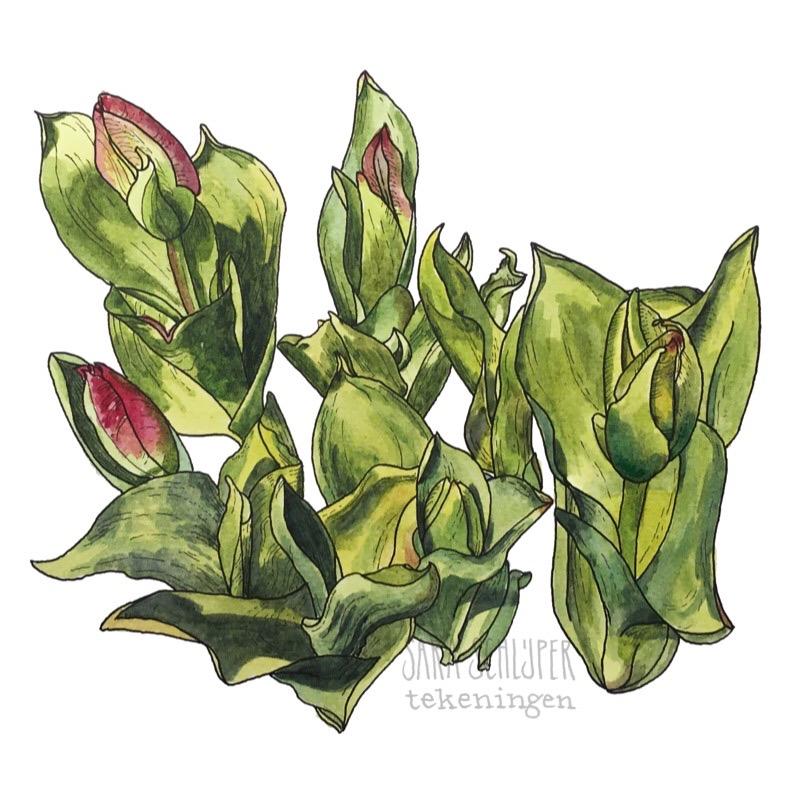 Tekening tulpen (1)