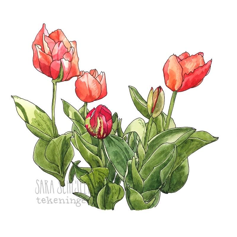 Tekening tulpen (2)