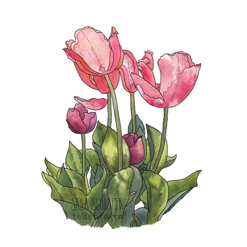 Tekeningen tulpen (4)