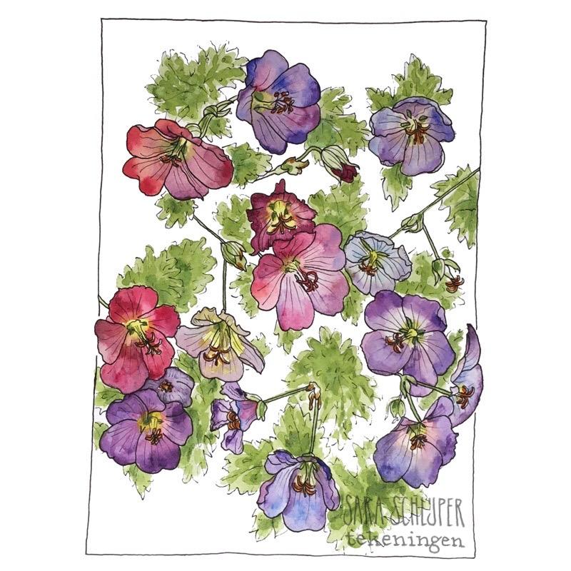 Tekening paarse geranium