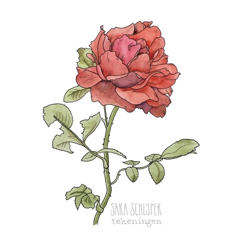 Tekening roos