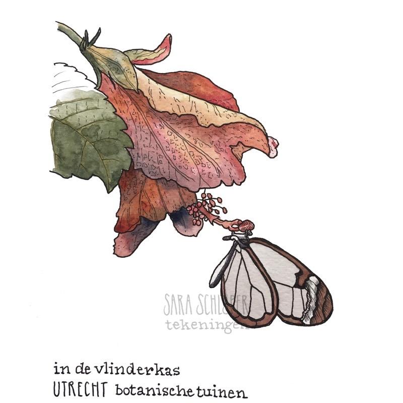 Tekening vlinder in de vlinderkas van de Botanische tuinen in Utrecht